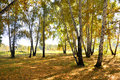 Landscape early autumn. Glade with yellow grass and leaves on the background of autumn birch trees illuminated by the Royalty Free Stock Photo