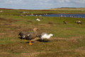 Landscape falkland islands with upland goose in foreground Royalty Free Stock Image
