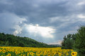 Landscape field of sunflowers Royalty Free Stock Photo