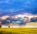 Landscape - field of yellow flowers and cloudy sky Royalty Free Stock Photo