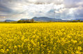 Landscape with a field of yellow flowers spring on cloudy sky Stock Image