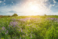 Landscape with flower meadow summer and sun rays Royalty Free Stock Photography