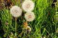 Fluff of dandelions with white shine in Japan Royalty Free Stock Photo