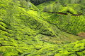 Landscape of green tea plantations. Munnar, India Stock Photography