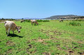 Landscape with herd of cows Stock Image