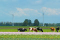 Landscape in holland with cows on on farmland the netherlands Stock Photo