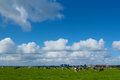 Landscape in holland with cows on on farmland the netherlands Royalty Free Stock Image