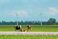 Landscape in holland with cows on on farmland the netherlands Stock Photography