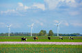 Landscape in holland with cows on on farmland the netherlands Royalty Free Stock Photo