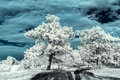 Landscape in the infrared meadow with beautiful largest trees Stock Photos