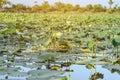 Landscape of lotus pond Royalty Free Stock Photo