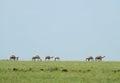 Landscape Nature. Camels In Th...