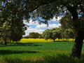 Landscape with oaks, meadow and rapeseed Royalty Free Stock Images