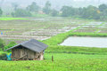 Landscape of paddy field in rainy day, Agriculture scene Royalty Free Stock Photo
