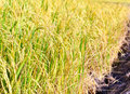 The landscape photo, rice fields color gold. Royalty Free Stock Photo