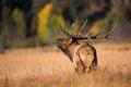 Landscape photograph of rutting bull elk Royalty Free Stock Photo