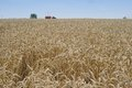 Landscape Picture of the yellow riped and dried wheat field just harvested by combine harvestor. Royalty Free Stock Photo