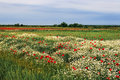 Landscape with poppies and chamomile field flowers of poppy a background of sky clouds Stock Image