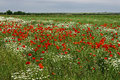 Landscape with poppies and chamomile field flowers of poppy a background of sky clouds Royalty Free Stock Images