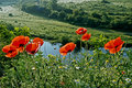 Landscape with poppies and chamomile flowers on a background of forest Royalty Free Stock Photo