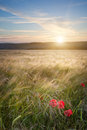 Landscape poppy field summer evening Royalty Free Stock Photo