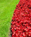 Landscape with red flower beds background bright blossoming against green grass Stock Images