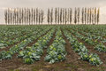 Landscape with rows of mature cabbage guarding by row of Lombardy poplars Royalty Free Stock Photo