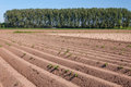 Landscape with rows of trees and potato plants Royalty Free Stock Images