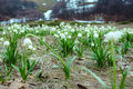 Landscape of snowdrops field in spring Royalty Free Stock Photo