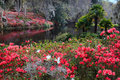 Landscape southern plantation azalea garden where pink red azaleas displaying their annual peak bloom covering hillside reflecting Royalty Free Stock Photography