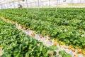 Landscape Strawberry hanging farm full of ripe strawberries,Chib Royalty Free Stock Photo