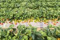 Landscape of Strawberry hanging farm full of ripe strawberries Royalty Free Stock Photo