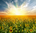 Landscape sunflower field Stock Photos