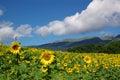 Landscape sunflowers Стоковое фото RF