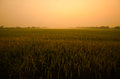Landscape sunset green rice farm Royalty Free Stock Photos