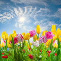Landscape with tulip flowers Stock Images