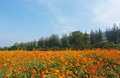 A Landscape View Of Cosmos Flo...