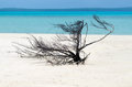 Landscape view of nude island in aitutaki lagoon cook islands dry tree on the famous sand bank Stock Images