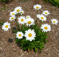 Landscape with white daisies background a bunch of daisy flowers Royalty Free Stock Photo