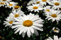 Landscape of white daisy flowers in summer time, California Royalty Free Stock Photo
