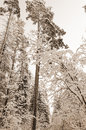 Landscape of winter forest in the old style sepia Stock Image