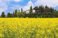 Landscape of yellow flower field with house on the hill Royalty Free Stock Images