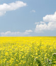 Landscape with yellow flowers Royalty Free Stock Photography