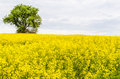 Landscape with yellow rapeseed field a in germany Stock Photos