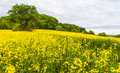 Landscape with yellow rapeseed field a in germany Royalty Free Stock Images