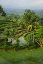Landscape of young watered ricefields Royalty Free Stock Photo