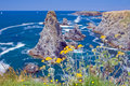 Landscapes of the famous place aiguilles de port coton image yellow flowers in places on island belle ile en mer with waves Royalty Free Stock Image