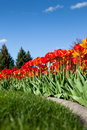 Landscaping with tulips red and yellow variegated tulip flowers in a flower bed a blue sky background Royalty Free Stock Photo