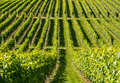 Langhe vineyards asti cuneo piedmont italy landscape at summer with Stock Photos