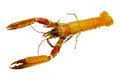Langoustine scottish also called norway lobsters is the source of scampi Stock Photography